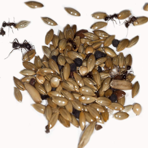 ant food seeds
