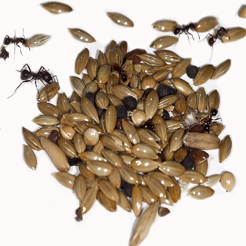 ant food seeds